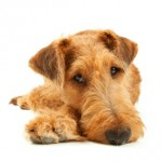 sad terrier